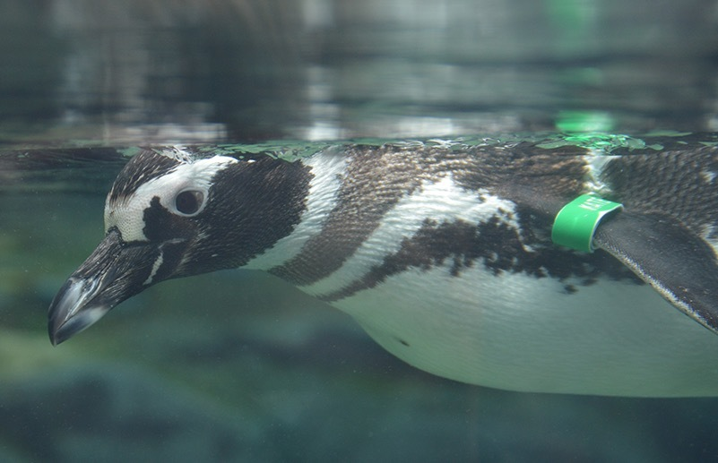 Penguin at the Aquarium of the Pacific in Long Beach, California