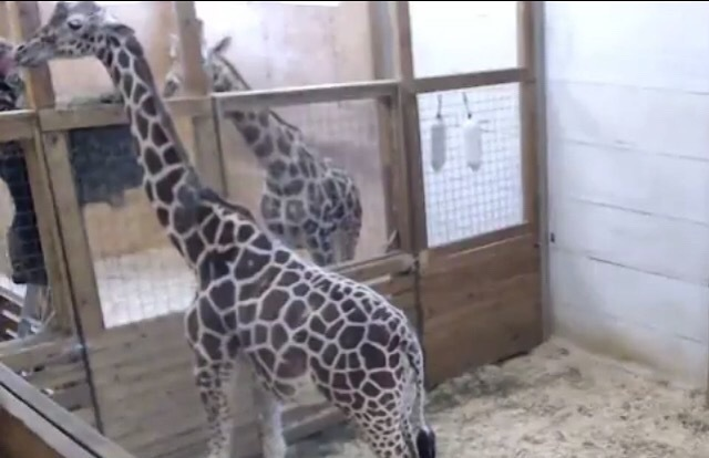 April the giraffe at Animal Adventure Park in Harpursville, New York
