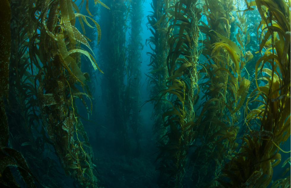 Underwater kelp forest at Channel Islands National Park in Southern California