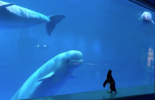 WATCH: Penguins Run Loose in Chicago Aquarium, Meet Beluga Whales | Frommer's