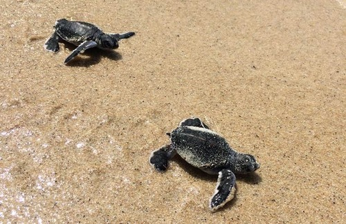 WATCH: Baby Turtles Hatch and Go to Sea at Island Resort in Thailand