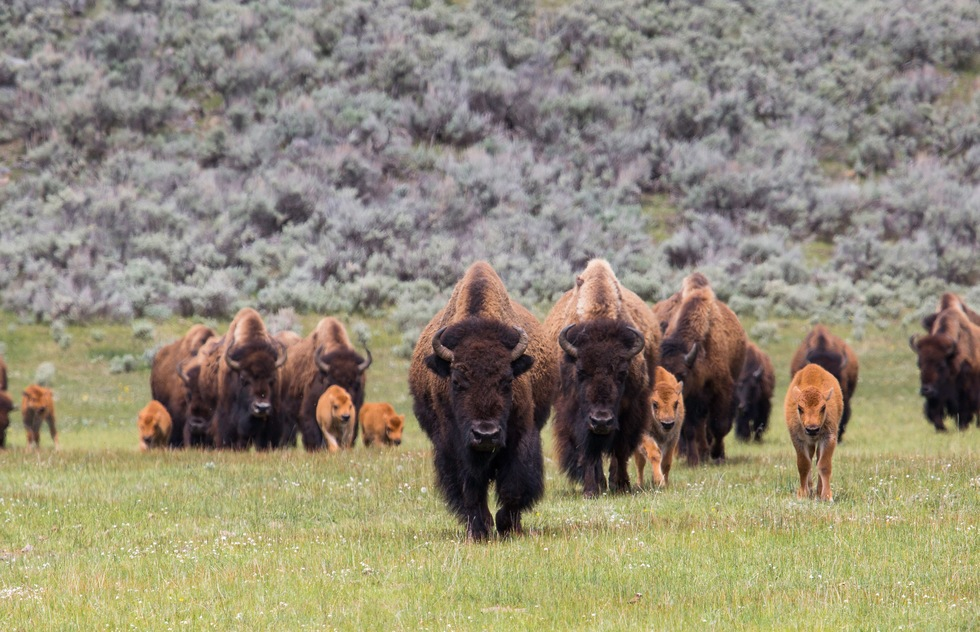 Best national park scenic drives: Bison and calves in the Lamar Valley at Yellowstone National Park in Wyoming