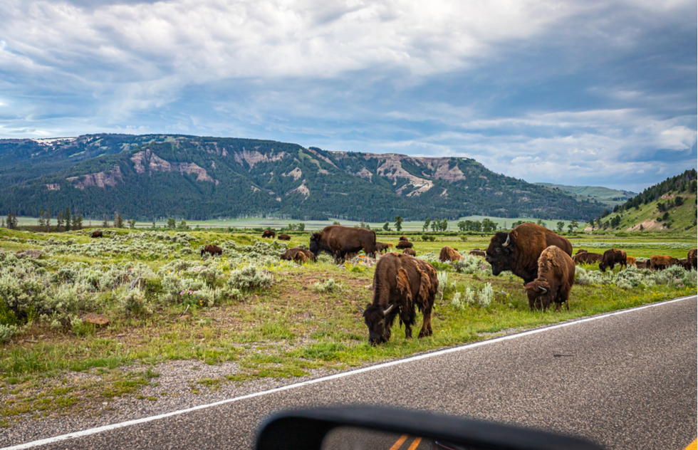 Best national park scenic drives: Grazing bison in the Lamar Valley at Yellowstone National Park in Wyoming