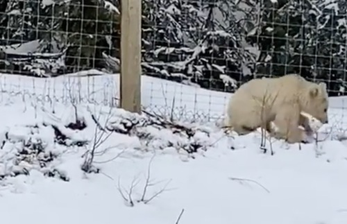 Meet Nakoda, Banff's Ultra-Rare White Grizzly | Frommer's