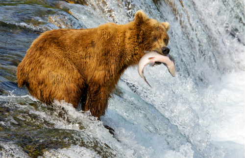 WATCH: Alaska's Bear Cams Are Back—Just in Time for Salmon Season | Frommer's