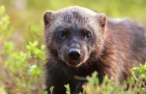 Wolverines Return to Mount Rainier After More Than A Century | Frommer's