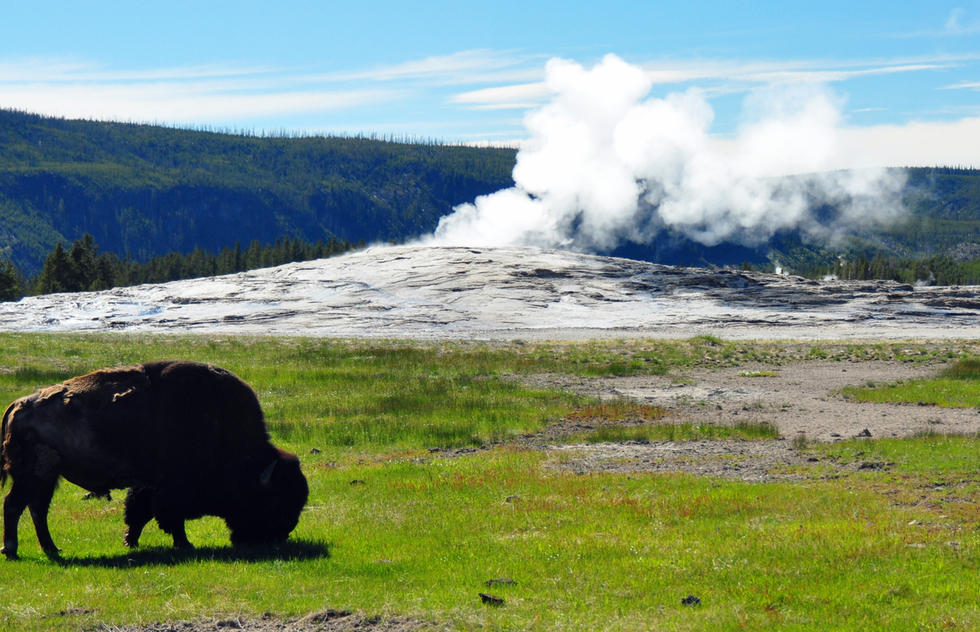 Yellowstone's best wildlife: bison grazing near Old Faithful