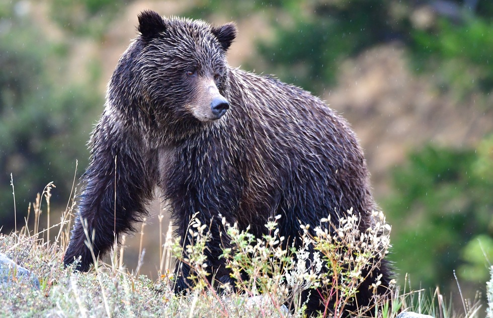 Yellowstone's best wildlife: grizzly bear in the Lamar Valley