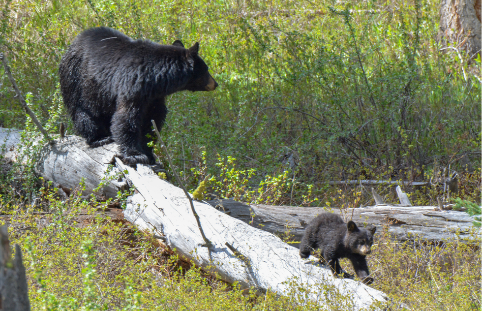 Yellowstone's best wildlife: black bear and cub