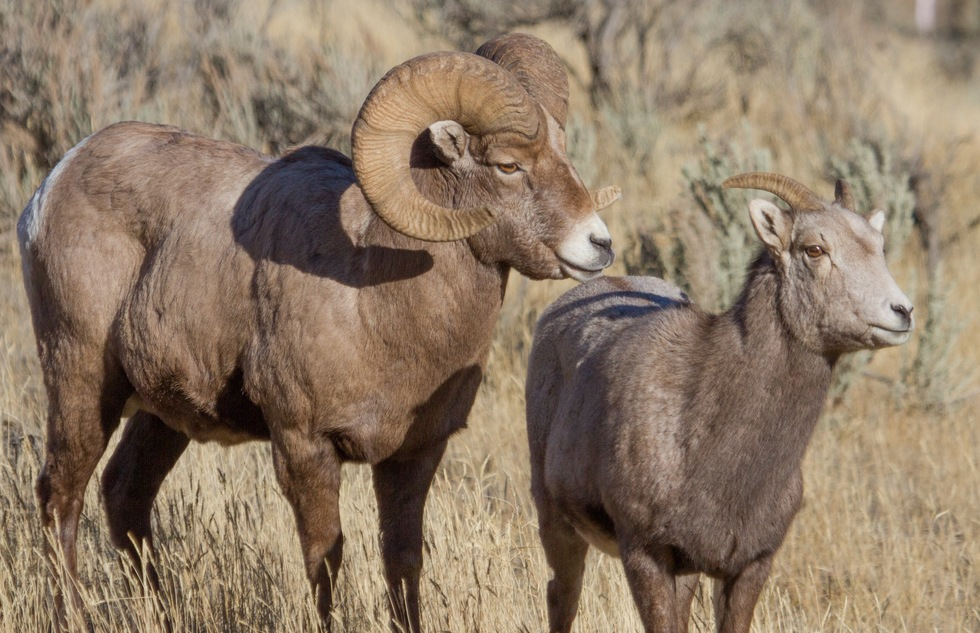 Yellowstone's best wildlife: bighorn sheep