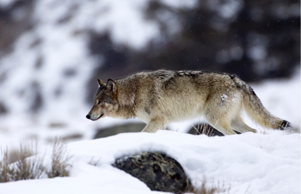 Yellowstone's best wildlife: gray wolf in the Lamar Valley