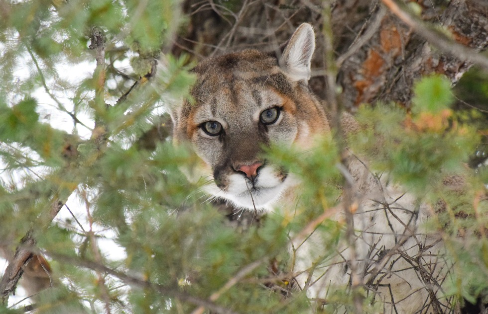 Yellowstone's best wildlife: cougar