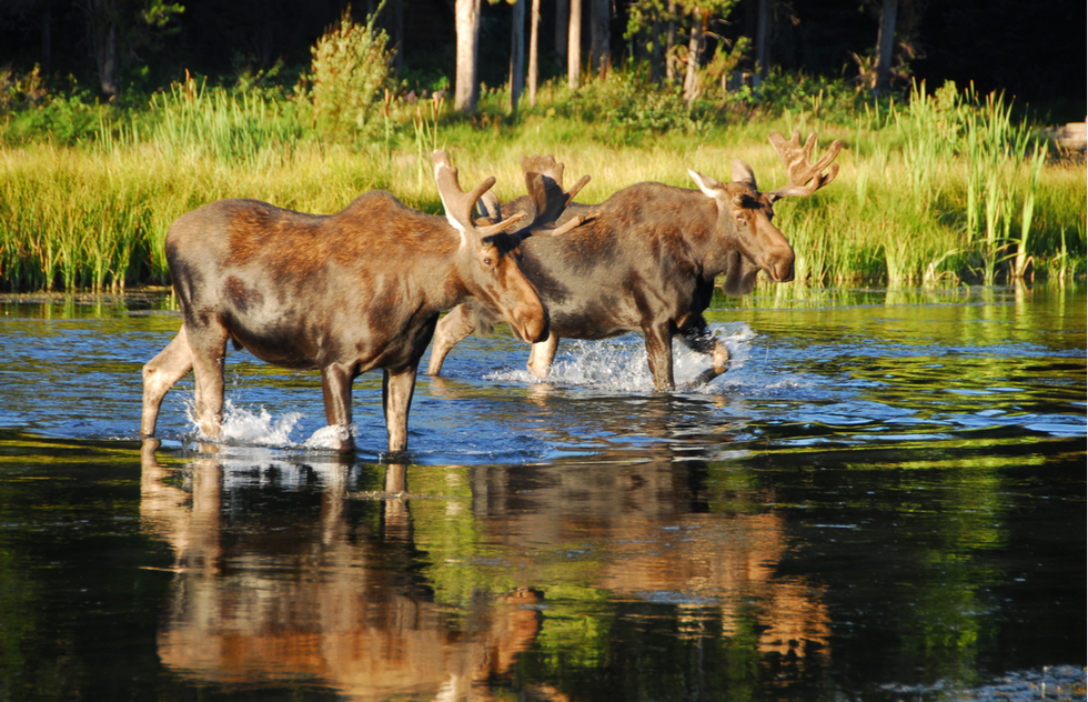 Yellowstone's best wildlife: two moose crossing a river