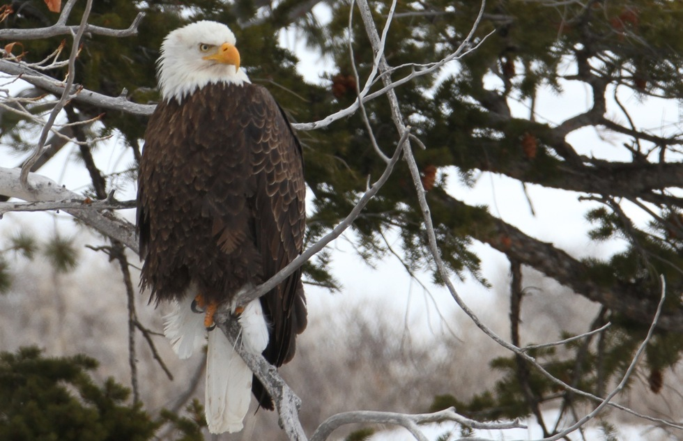 Yellowstone's best wildlife: bald eagle perched above the Gardner River