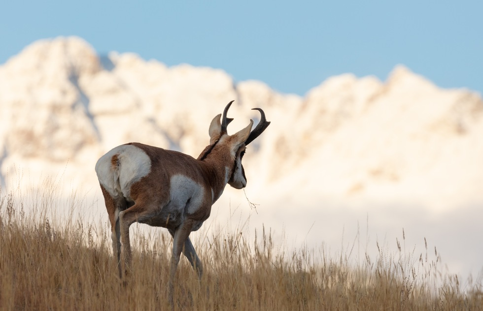 Yellowstone's best wildlife: pronghorn with Montana's Electric Peak in background