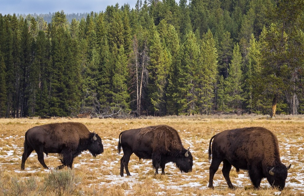 Yellowstone's best wildlife: bison grazing in the Hayden Valley