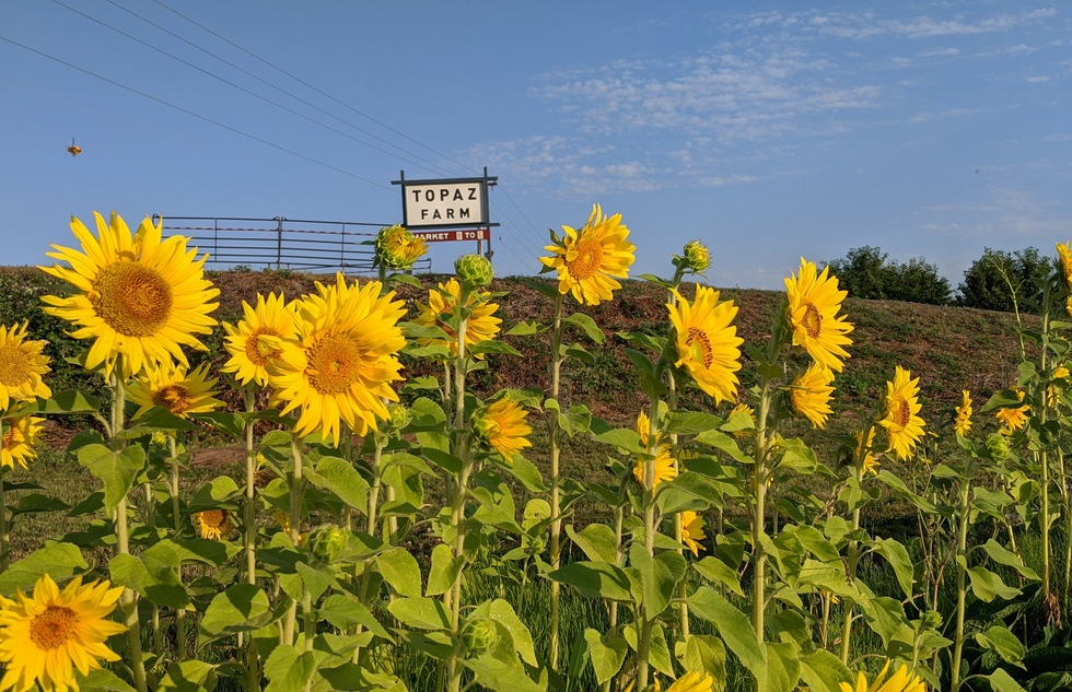The sunflower fields at Topaz Farms