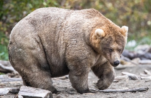 Fat Bear Week: The Election You Don't Have to Dread This Autumn | Frommer's