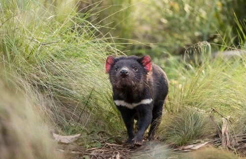After 3,000 Years, Wild Tasmanian Devils Return to Mainland Australia | Frommer's