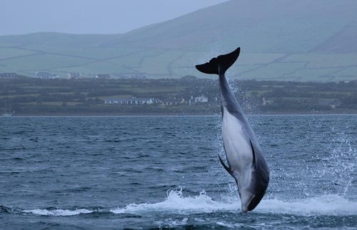 Dingle, Ireland's Beloved Dolphin, Fungie, Has Disappeared | Frommer's