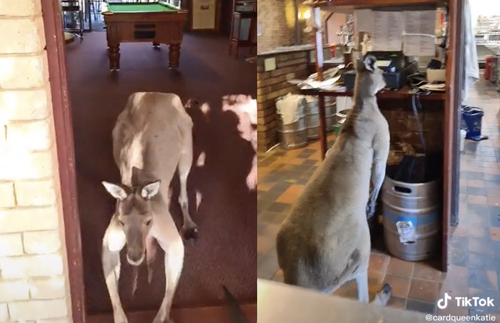 WATCH: Kangaroo Bounds Around Australian Pub Like He Works There | Frommer's