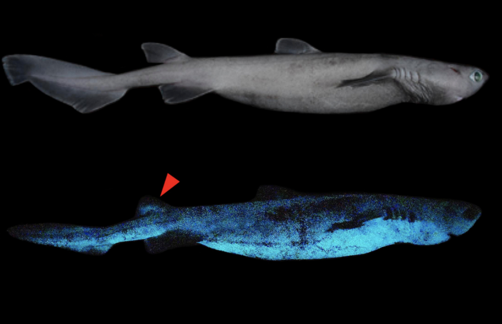 This Shark'll Sparkle! Deep-Sea Predator Bioluminescence Discovered | Frommer's