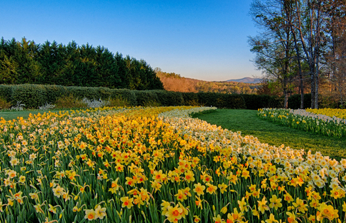 PHOTOS: The USA's Largest Daffodil Display in Bloom | Frommer's