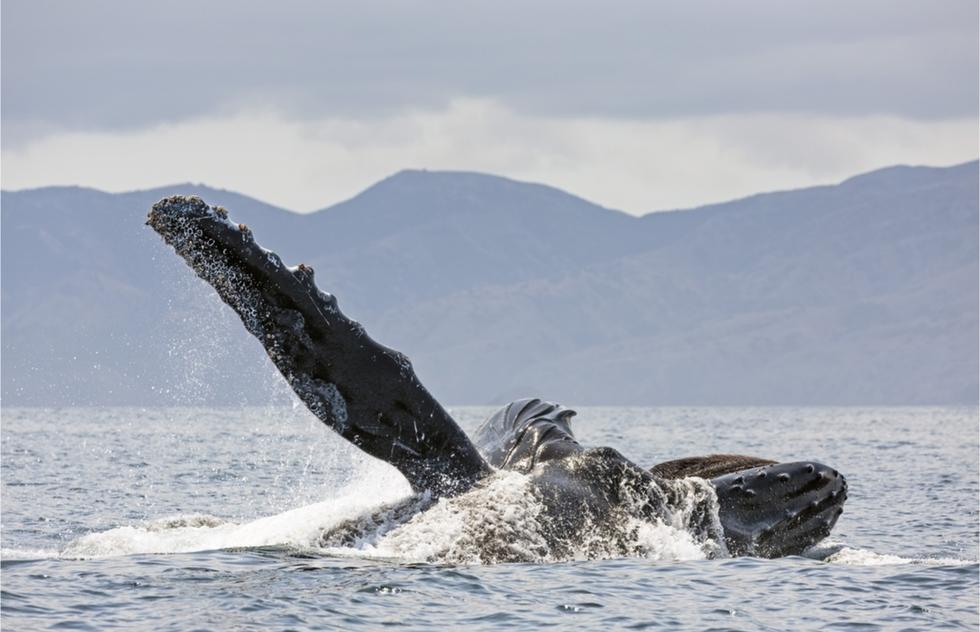A whale breaches near Channel Islands National Park