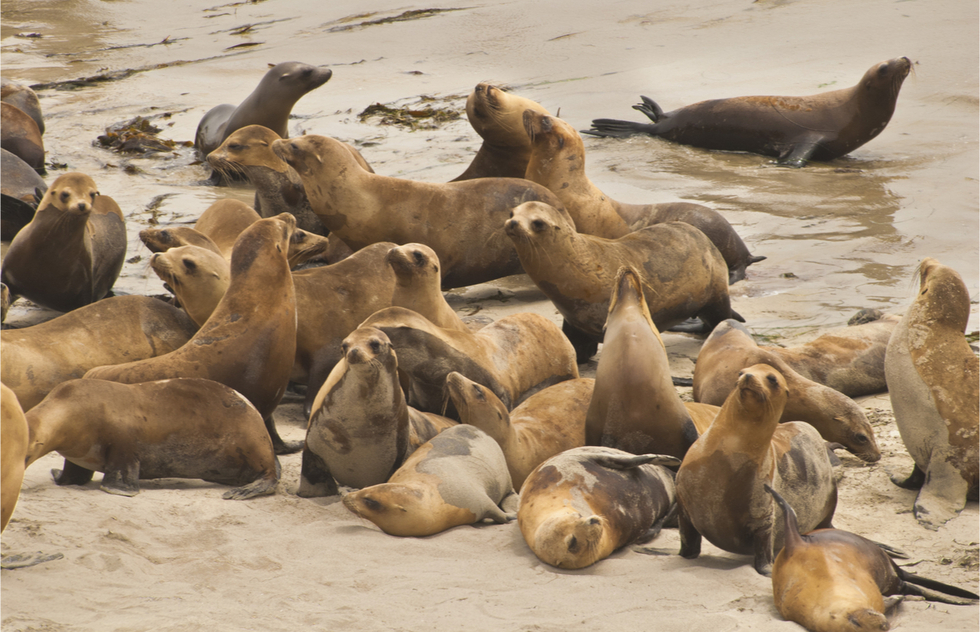 Elephant seals on the rocks in the Channel Islands