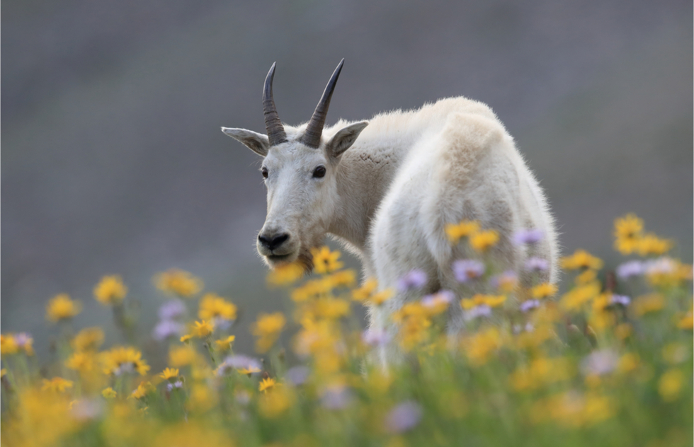 Mountain goat and flowers at Glacier National Park in Montana