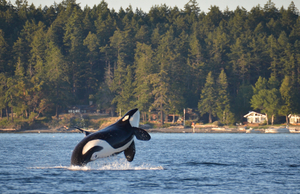 Best whale watching in the USA: San Juan Islands, Washington