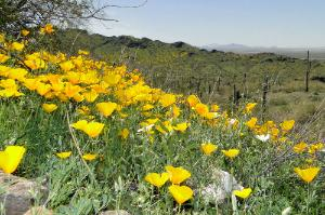 Gold Poppies at Picacho Peak State Park in Arizona.
