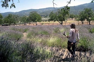 Gather bunches of lavender at the New Oak Ranch.