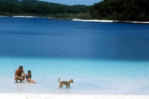 Dingo at Lake McKenzie, Fraser Island, Queensland. Courtesy Tourism Australia © Photographer: Lincoln Fowler
