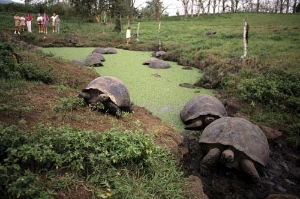 Huge, hard shelled tortoises waddle across the mud near a pond at Butterfly Ranch, Santa Cruz Island, Galapagos.