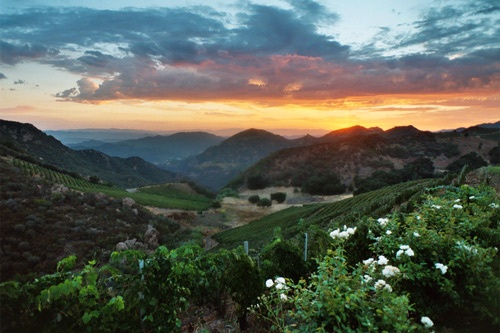 Vineyards in the sunrise at Semler Malibu Family Wines. Photo: Lisa Semler