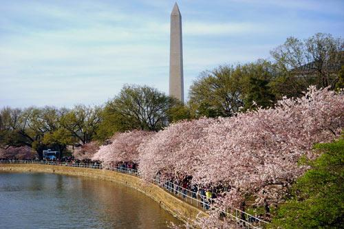 The Tidal Basin During Cherry Blossom Season