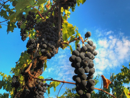 Chianti grapes growing near Florence.