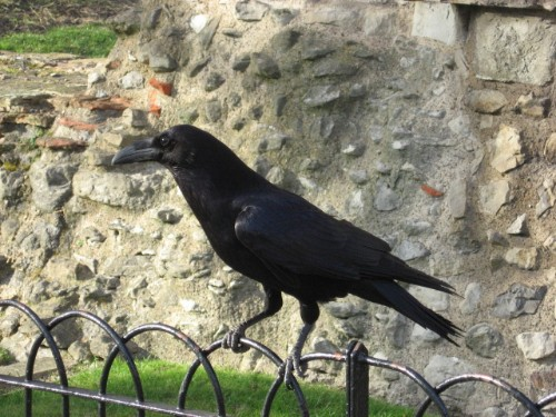 Raven at Tower of London.