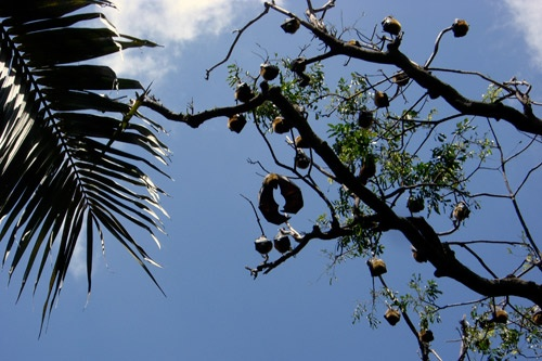 Flying foxes, or fruit bats, at the Royal Botanic Gardens, Sydney.