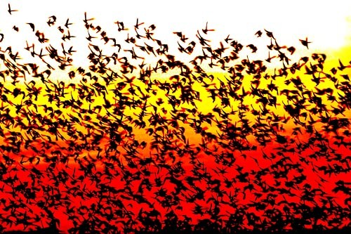 The rustle of millions of starling wings brings about an ominously darkening sky.