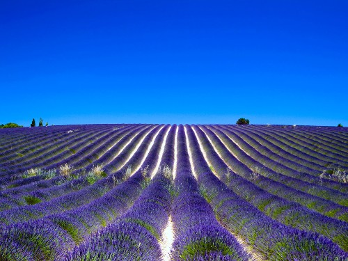 Lavender fields and blue skies in Provence, France.