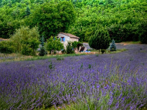 Lavender fields in Provence, France.