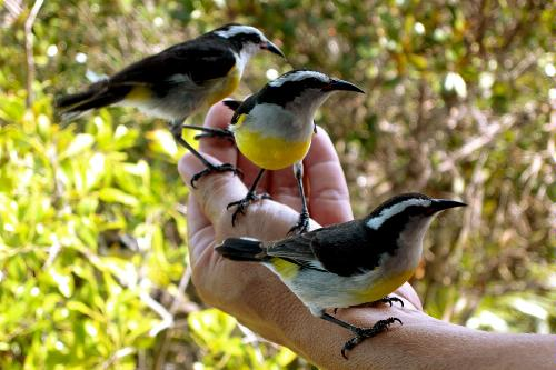 Fearless little birds that sit on your hand at Exuma Cays Land and Sea Park, Bahamas.