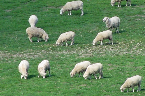 Sheep on a green pasture