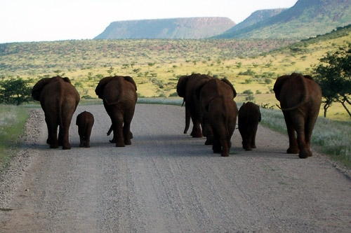 Desert elephants make their own traffic rules