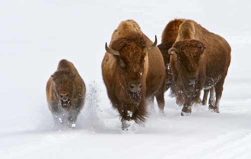 Our favorite time of year to be in Yellowstone Park is in the winter.