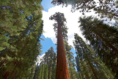 Mariposa Grove of Giant Sequoias. Photo courtesy DNC Parks & Resorts at Yosemite, Inc.