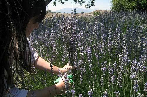 Lavender season at New Oak Ranch in Ojai, CA.