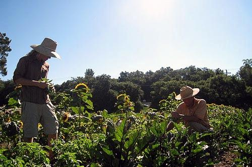 A volunteer lends a hand to Steve Sprinkel (left), who runs the Farmer and Cook in Ojai, CA.